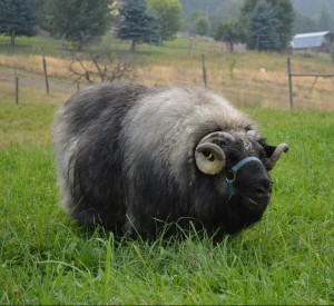 Tore, and Icelandic ram at Stoneybrook Farm in Wynndel British Columbia